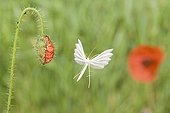 White Plume Moth flying near a Corn Poppy flower France