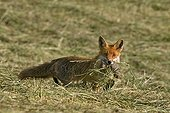 Vixen just catching a rodent in a mown meadow France