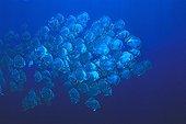 School of Orbicular Batfishes Red Sea Egypt