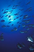 School of Atlantic spadefishes Bahamas