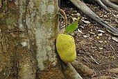 Jackfruit near the base of the trunk Seychelles