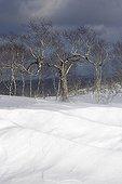 Congères de neige et feuillus en hiver Hokkaïdo Japon