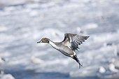 Northern Pintail in flight Lake Tofutsu Hokkaido Japan