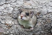 Fat Dormouse careful at nest entry in a tree Germany