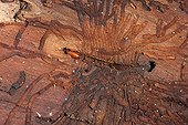 Galleries and Bark beetle larva in wood Brittany France