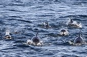 Pacific White sided Dolphins hunting British Columbia Canada