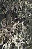 Lichens sur branche en forêt tropicale humide Glendale Cove
