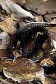 Poussin de Kagou huppé au nid Nouvelle Calédonie ; Poussin âgé d'un jour.