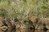 Rocky bank and forest with Melaleuca New Caledonia ; Natural environment of the Kagu.