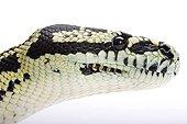 Portrait of Queensland Carpet Python studio ; Origin: Australia