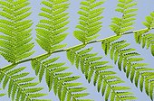 Tree fern leafing in a garden