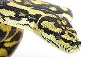 Coastal Carpet Python studio ; Origin: Australie