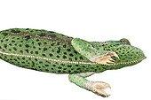 Veiled Chameleon studio ; Origin: Yemen