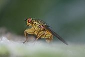 Common yellow dung fly resting on a leaf Brittany France