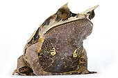 Long-nosed Horned Frog Studio ; Origin: Southeast Asia