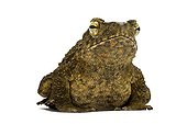 Asian Giant Toad studio ; Origin: Asie