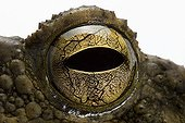 Eye of Asian Giant Toad studio ; Origin: Asie