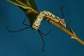 Caterpillar climbing on a rod in a breeding