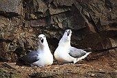 Parade nuptiale de Fulmars boréaux Islande