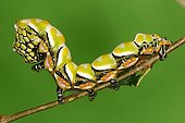 Caterpillar on a branch in a private breeding