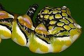 Caterpillar head in a private breeding