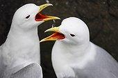 Parade nuptiale de Mouettes tridactyles Islande