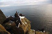 Pingouin torda en parade nuptiale sur une falaise Islande