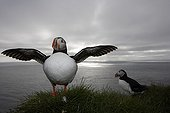 Atlantic puffins on a cliff at twilight Iceland