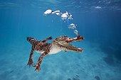 "Saltwater Crocodile expires underwater Australia ; Story ""Meeting with a Saltwater Crocodile"""
