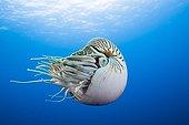 Nautilus in Great Barrier Reef Australia