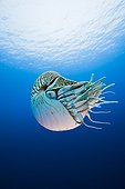 Nautilus in Great Barrier Reef Australia