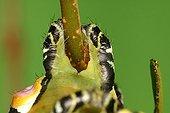 False hind paws of a caterpillar