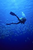 Diver approaching a bench of orbicular batfish Egypt