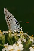 Silver-studded Blue gathering nectar Montolieu