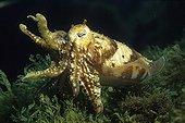 Common cuttlefish in intimidation posture Mediterranean Sea
