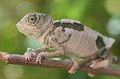 Young helmeted chameleon Yemen moulting