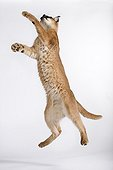 Caracal jumping to catch something Africa ; Distribution: Africa to India