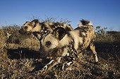 African Wild Dogs in the savanna Africa