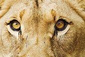 Regard d'une lionne Afrique