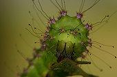 Giant Peacock Moth caterpillar eating a leaf  Sieuras
