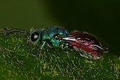 Cuckoo Wasp walking on a leaf  Annevoie Belgium