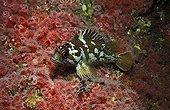 Redfish resting above Strawberry Sea Anemones  California