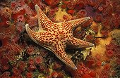 Leather Sea Star moving on Strawberry Sea Anemones  USA