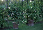 Daturas in bloom at Jardin de l'alchimiste