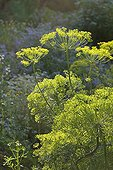 Dill in bloom in a garden in Provence France