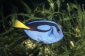 Palette surgeonfish swimming amongst algae