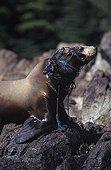 Lions de mer de Steller pris dans un filet de pêche Alaska ; Cet individu risque de mourir étranglé.