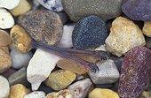 Alevins de Truite arc-en-ciel nageant près du fond USA ; Alevins de 1 cm de long toujours nourris par leurs sacs nourrissiers.