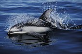 Pacific White-sided Dolphin swimming Pacific Ocean