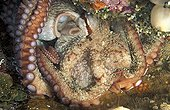 Giant Octopus resting on the bottom of the Pacific Ocean